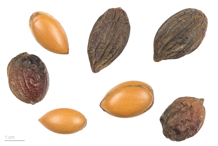 Argania Spinosa - nuts